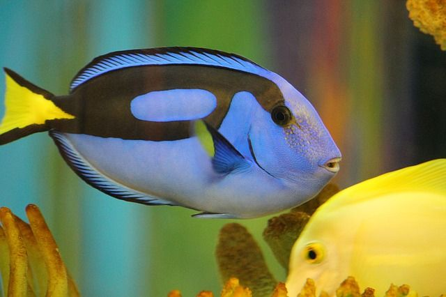 Faith Is Like A Fish Manna For Marriage Blue Tang Fish Ocean Creatures Animals Wild