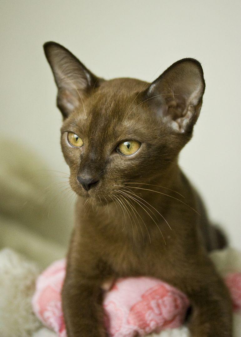 Thai Burmese Siamese Cats Burmese Cat Cat Dark