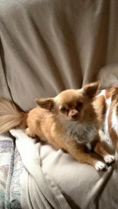 Lost Dog Please Help With The Safe Return Home Of My Dog Chili