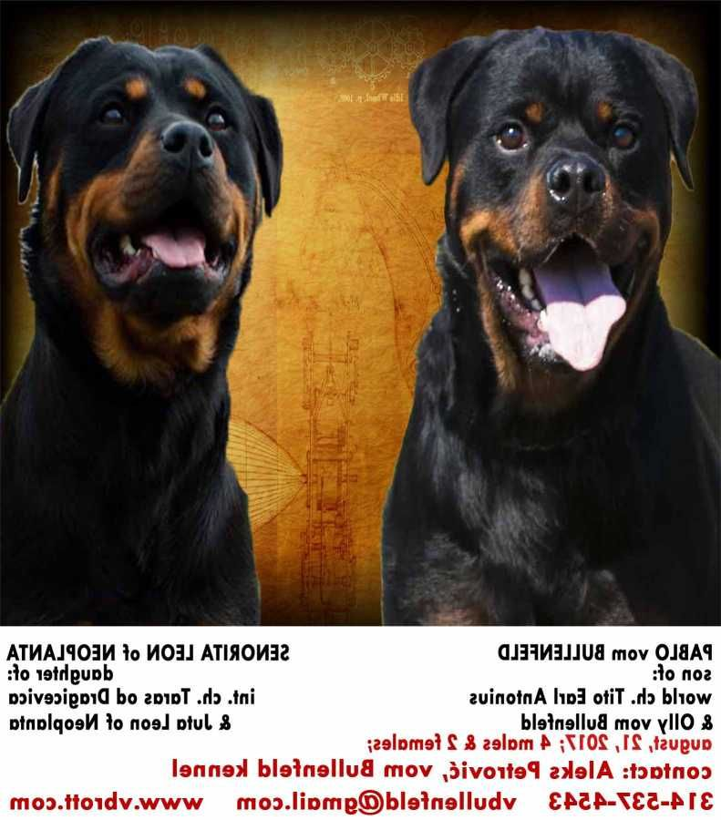 German Rottweiler Breeder In Missouri With Rottweiler Puppies For Sale