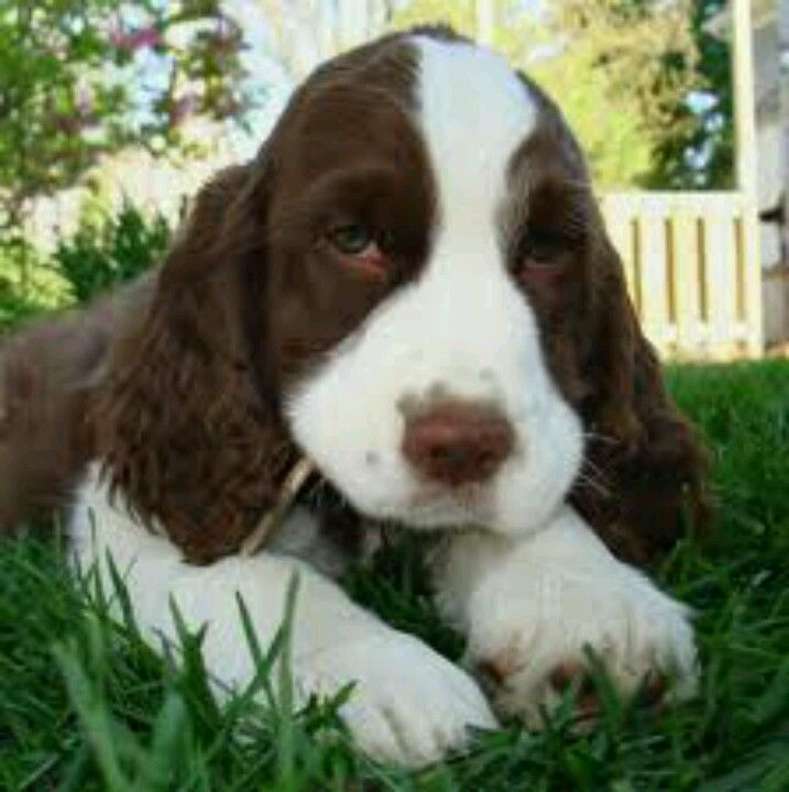 Pin By Emma F On Cute Animals Springer Spaniel Puppies