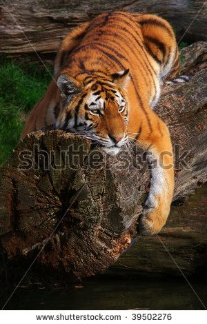 Siberian tiger lying stretched on a fallen tree above the ...