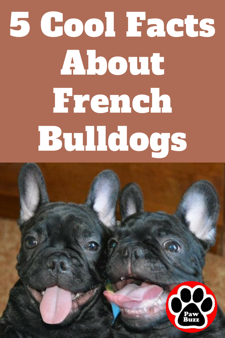 5 Cool Facts About French Bulldogs French bulldog