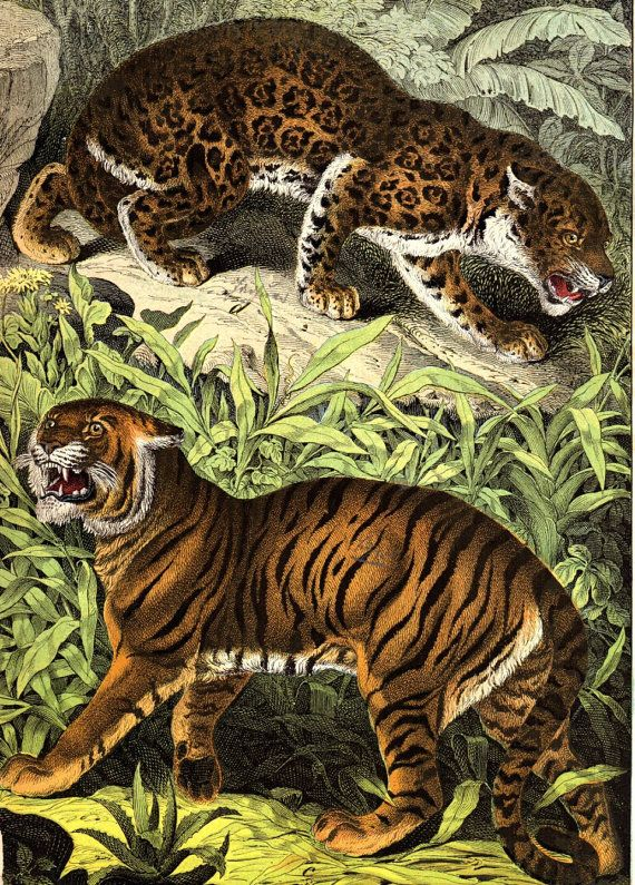 1877 Tiger Leopard Antique Animal Print Matted