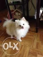 Cream Pomeranian Stud Pomeranian Puppy Animal Lover Pomeranian