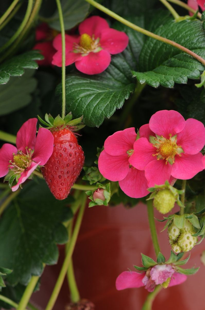 Ultimate Guide To Growing Berries Edible Plants Pinterest