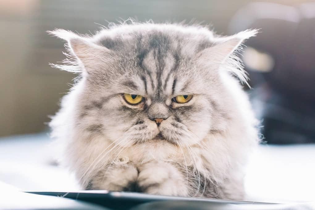 Persian Cat Meme Origin