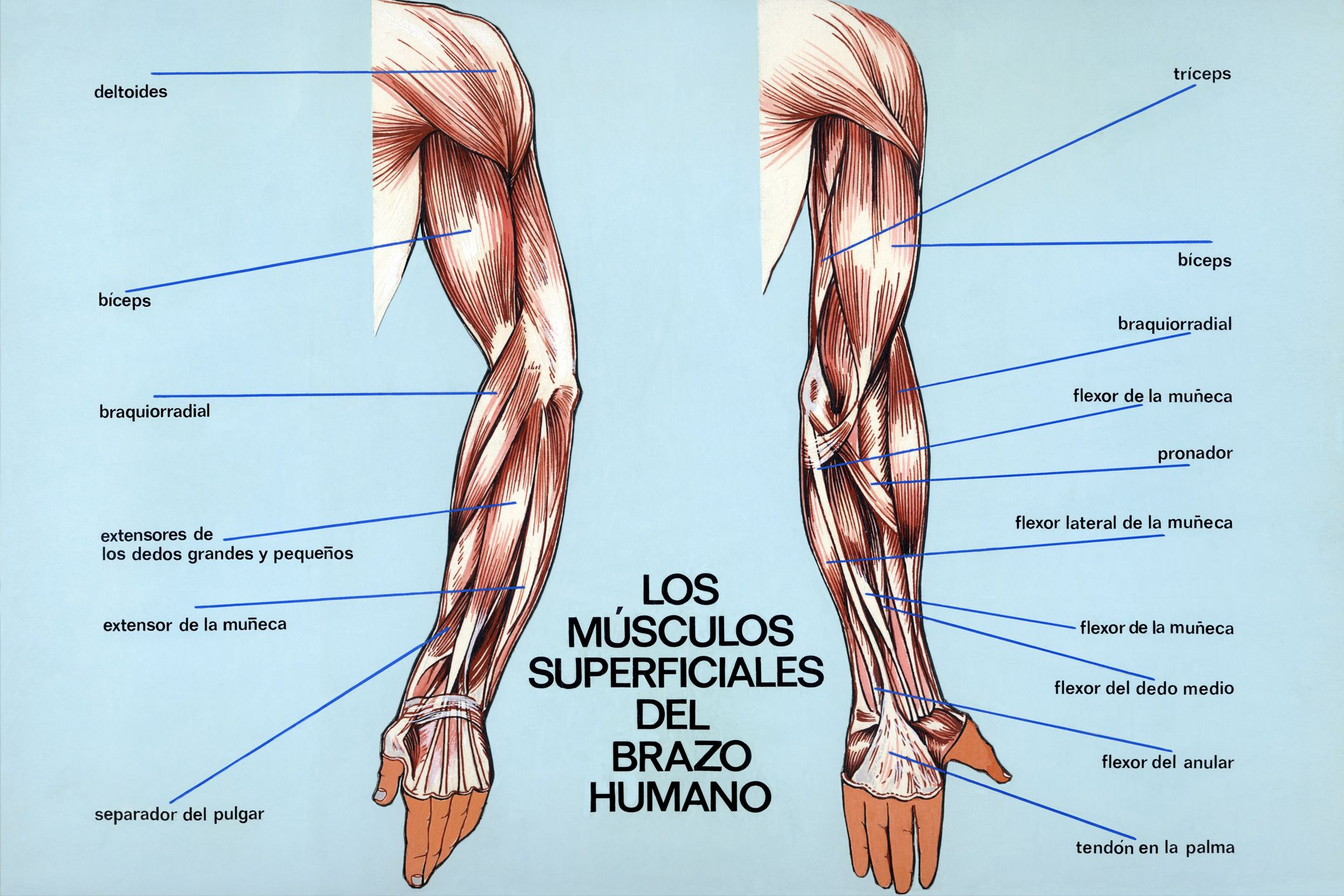 Músculos superficiales del brazo humano | Gym | Pinterest | Músculos ...