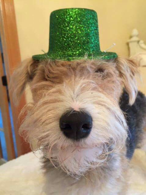 Wire Fox Terrier Rescue Midwest from Facebook | Oz | Pinterest ...