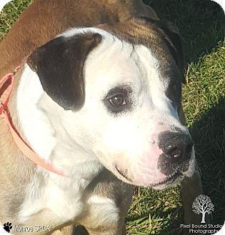 06 27 16 Sl Bulldog St Bernard Mix Dog For Adoption In Monroe