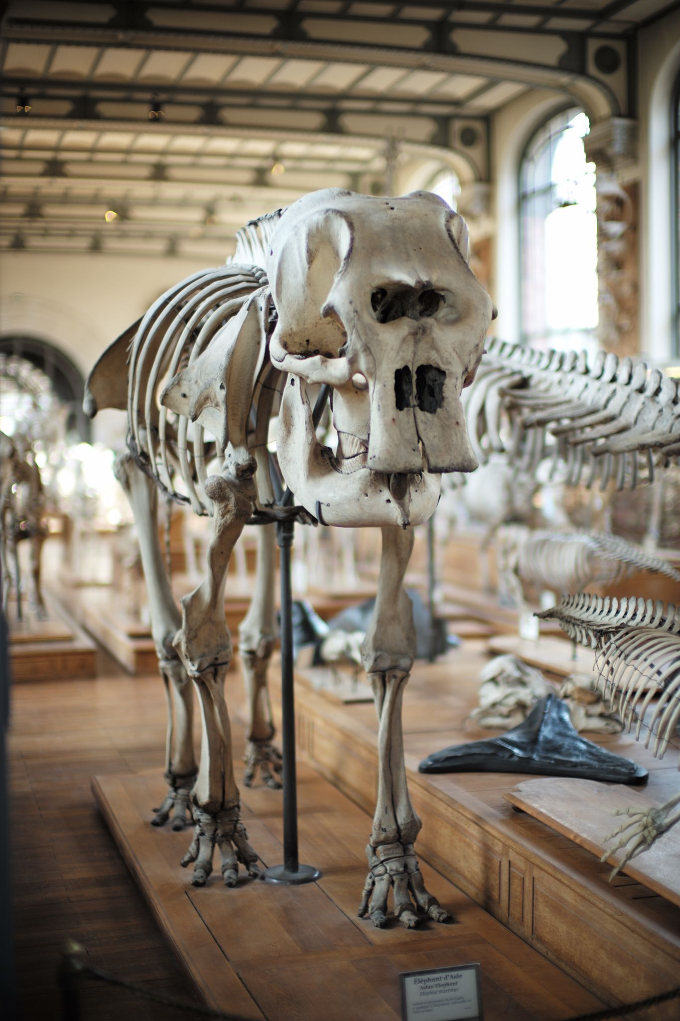 An Elephant Skeleton At Museum Dhistoire Naturelle Of Paris By