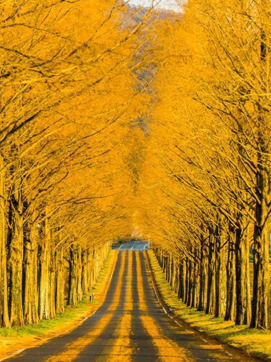 The Golden Road- Takashims, Shiga, Japan