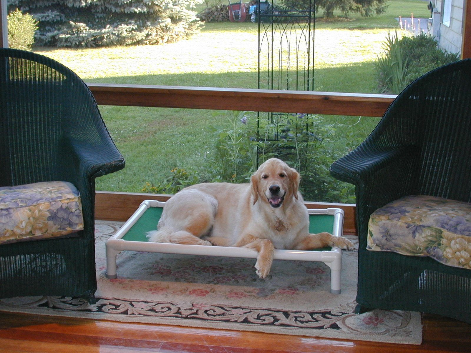 A golden retriever enjoying the breeze on the porch