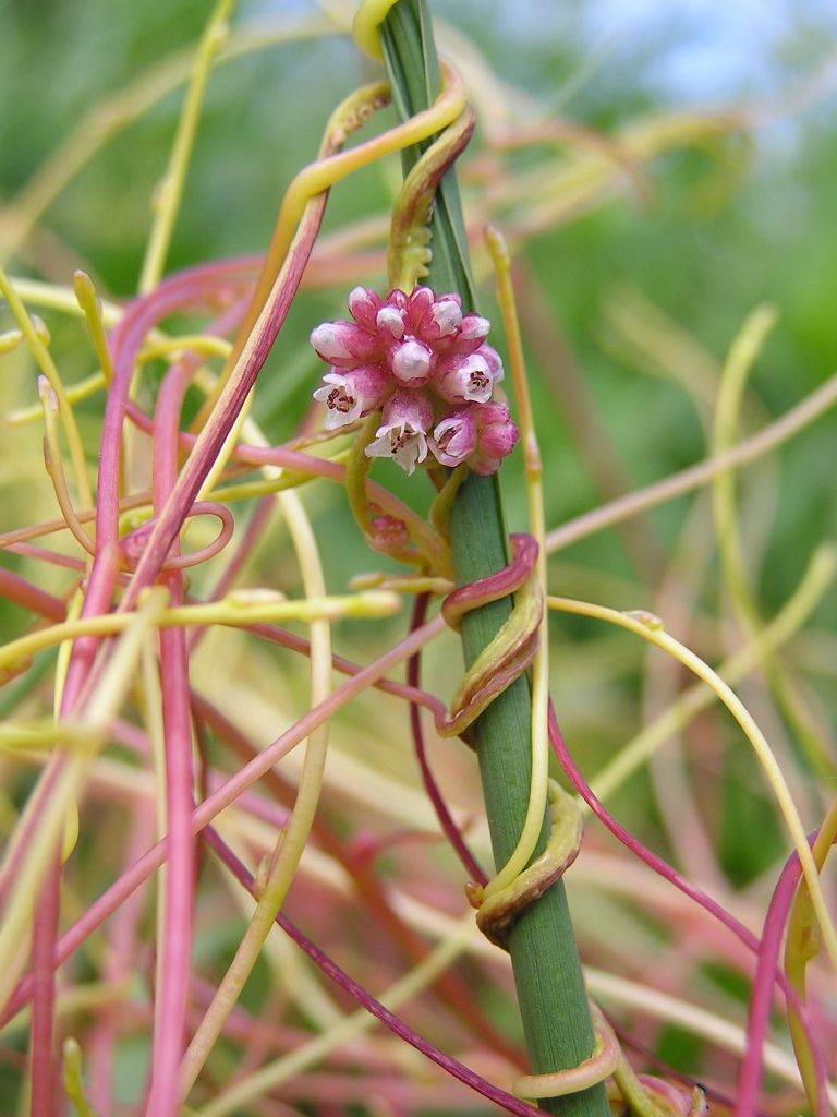 Dodder The Plant Which Can Smell Photo By Michael Becker Wikipedia Dodder Is A Genus Of Parasitic Plant Which Grows Plants Perfect Plants Moonflower Vine