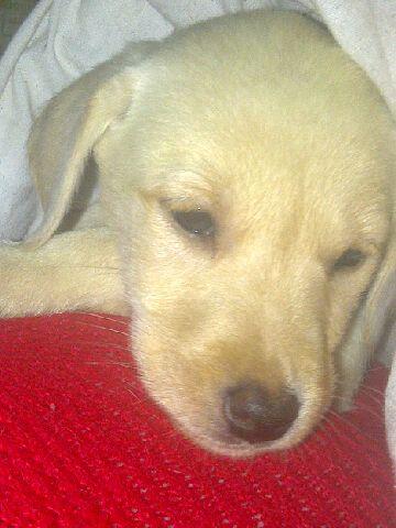 Little lady Labrador