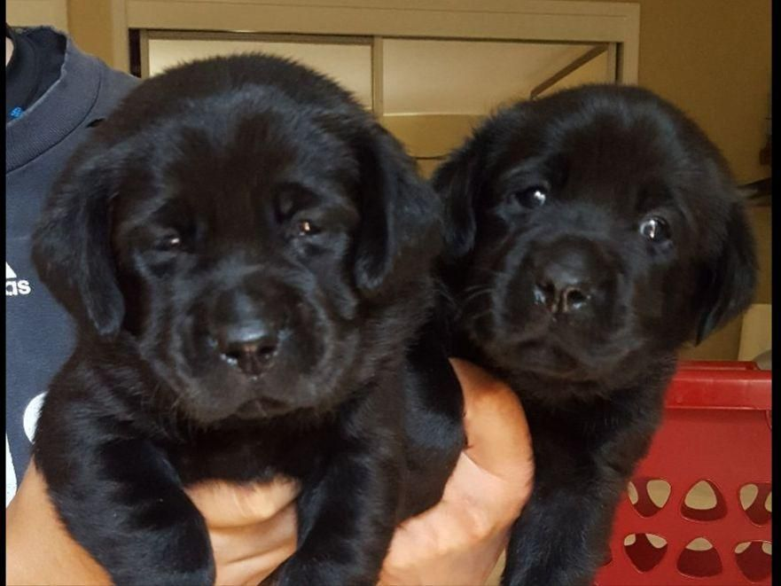 Bel Amour Has High Quality Yellow And Black Labrador Puppies Available Puppies Will Be Ready To Labrador Puppies For Sale Labrador Puppy Black Labrador Puppy
