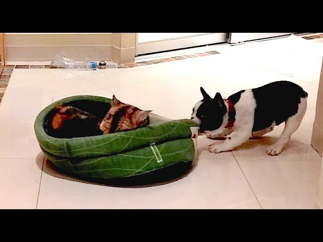French Bulldog Puppy Gets His Bed Back French Bulldog Puppies