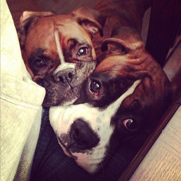 Double Trouble But Double The Love Too Omg I Need Another Boxer