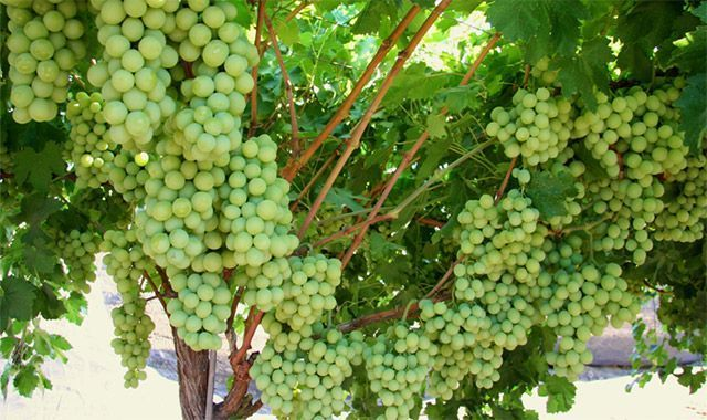Ever thought of growing your own grapes! Here's an easy ...