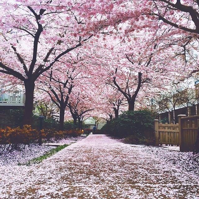 Cherry Blossom In Vancouver Landscape Photos Wonders Of The World Cool Landscapes