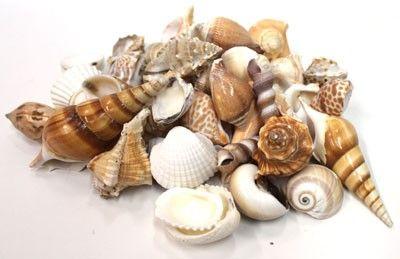 California Seashell Company Retail - Large Indian Mix 1kg Seashells, $7.00 (http://www.caseashells.com/large-indian-mix-seashells/)