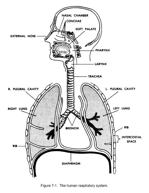Respiratory System Worksheets Human Urinary System Lesson 9 The