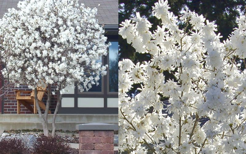 Royal Star Magnolia Has Larger And More Showy Flowers In The Species And They Re Fragrant Magnolia Tree Landscaping White Flowering Trees Magnolia Trees