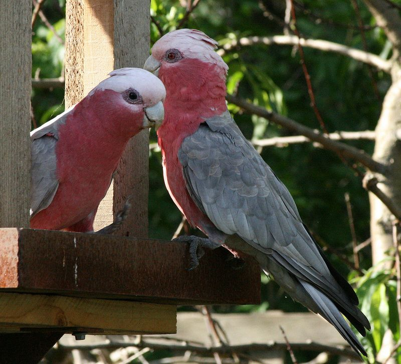 Galah Pair Birds Parrot Red Eyes Pairs
