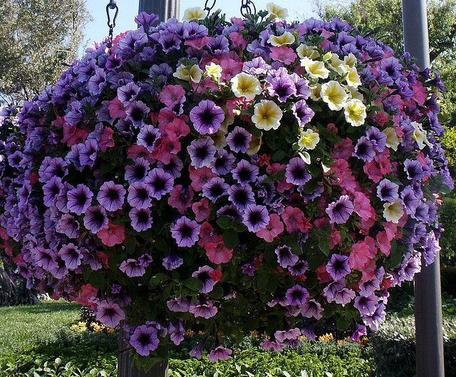 Petunia Hanging Basket Flower - Want to be able to indentify plants with your mobile phone? Check out GardenAnswers.com!