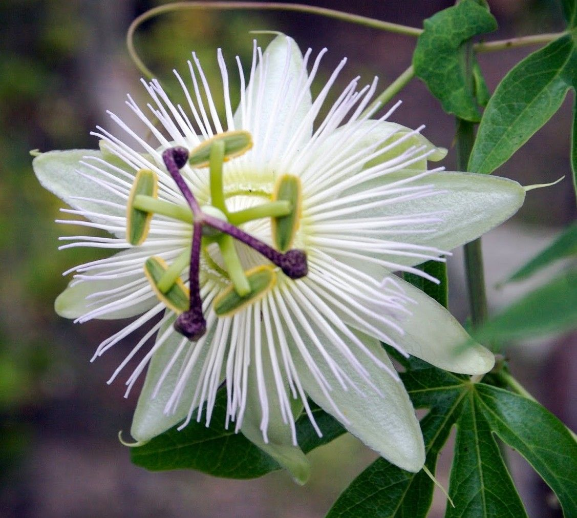 Passion flower passiflora species boots pinterest passion
