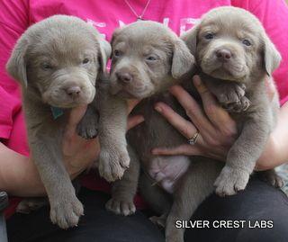 Silver Labrador Puppies For Sale Texas Charcoal Labrador Puppies Texas Silver Labrador Puppies Labrador Puppy Labrador Retriever Puppies