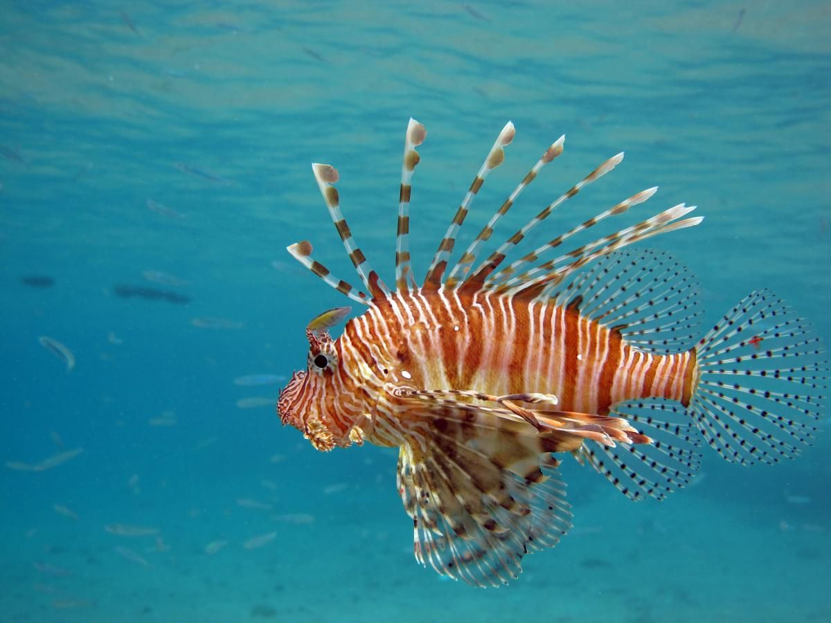 Lionfish Fish Breed Profile and Information in 2020