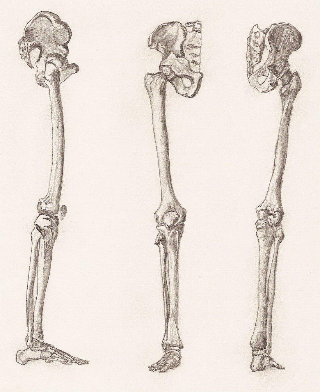 Human Leg Bone Anatomy Estudos Ee Pinterest Human Leg And Anatomy