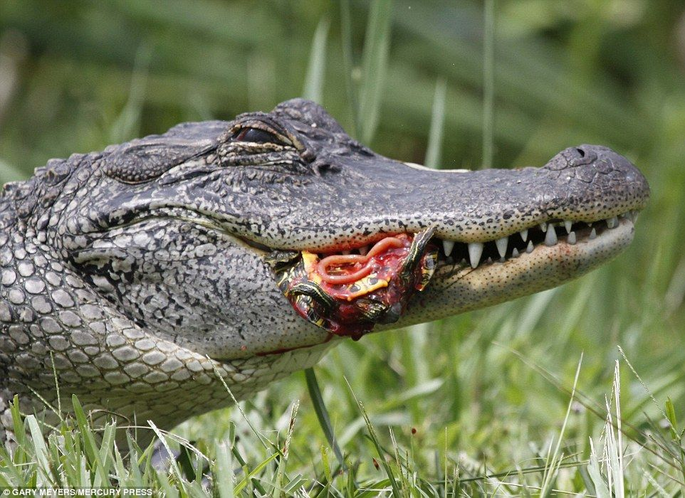 Hungry alligator gulps down two reptiles whole in one go ...  Hungry alligato...