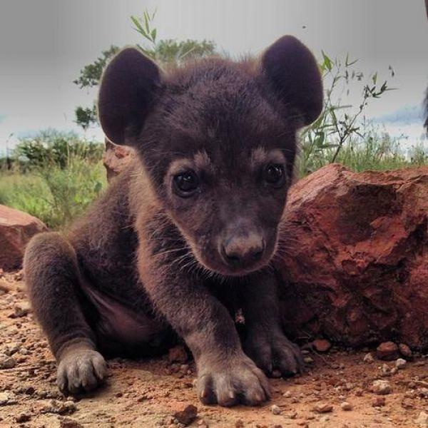 Hyänenwelpe Süßeste haustiere, Süße baby tiere und Tiere