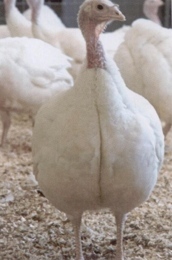 Turkey For Sale >> Broad Breasted White Turkey Hen White Broad Breasted Turkeys Image