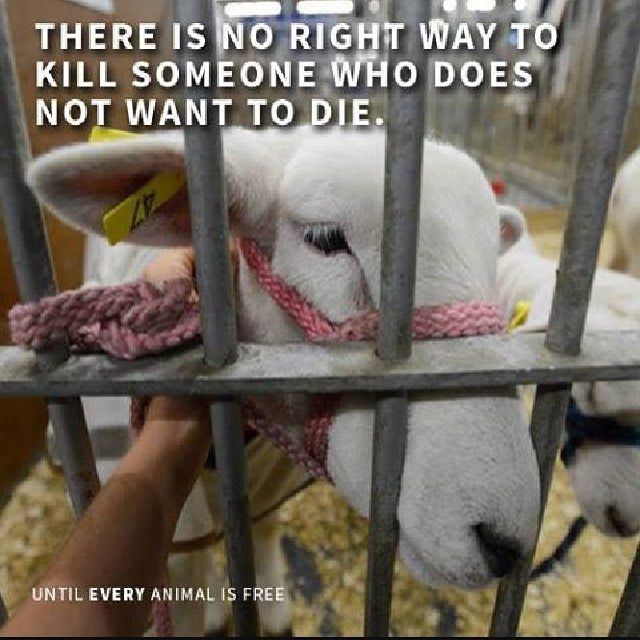 All living creatures have the will to live. Don't let a slaughterhouse tell you differently. - GO VEGAN  - #vegan #govegan #veganism #crueltyfree #plantbased #cleaneating #health #fitness #healthy #fit #vegansofig #veganfoodshare #paleo #protein #icecream #milk #egg #bacon #cheese #lowcarb #bbq #burgerking #kfc #lowfat #mealprep #foodporn #abs by thesweettoothvegan