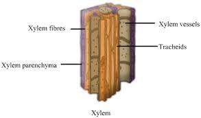 Image Result For Xylem Tissue Diagram My Pinterest Diagram