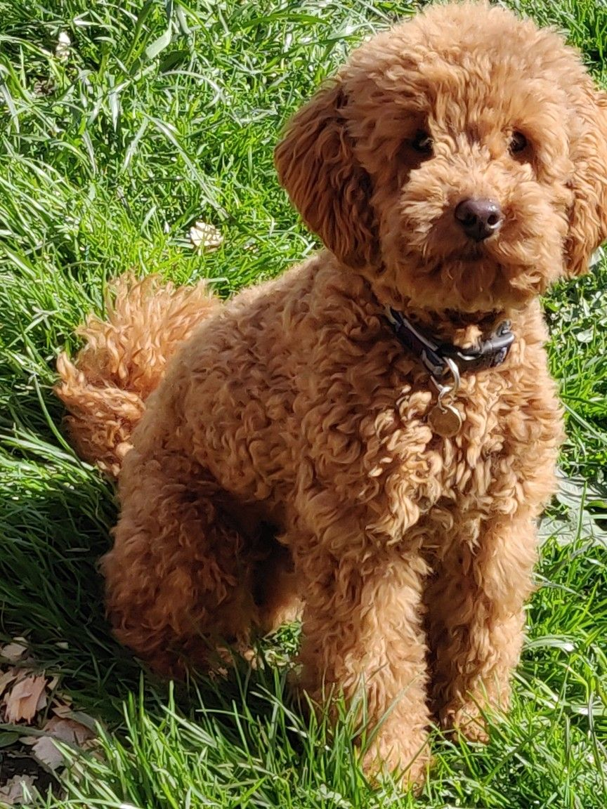 Proven Red Toy Poodle Stud Dog Health Tested Puppies Kitties