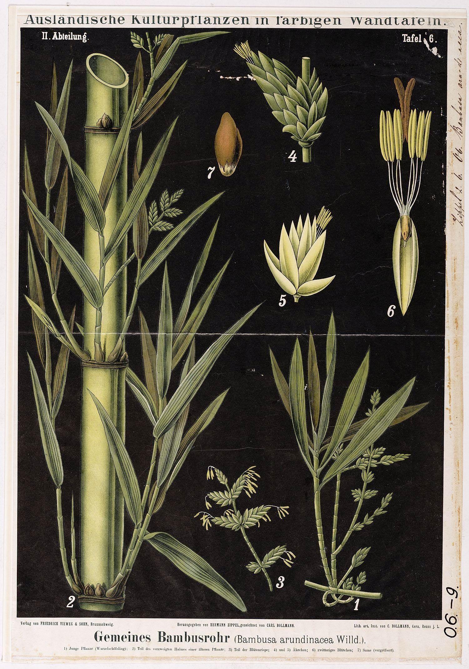 Botanical - Educational Plate Black Bamboo