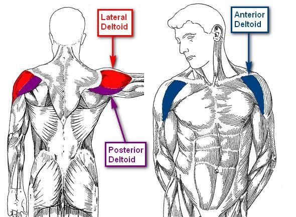 Image result for Rear Delts (Posterior Deltoids) anatomy