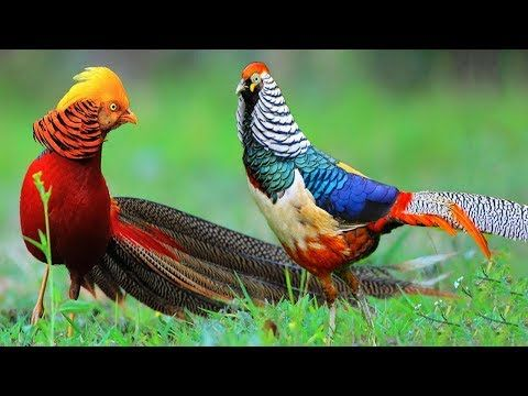 Beautiful Golden Pheasants and Wading Birds   YouTube   Art     Beautiful Golden Pheasants and Wading Birds   YouTube