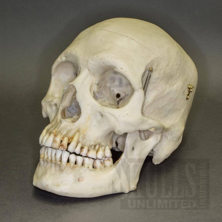 Real Human Skull (Homo sapiens) | WOK-2567 | REAL SKULLS AND BONES ...