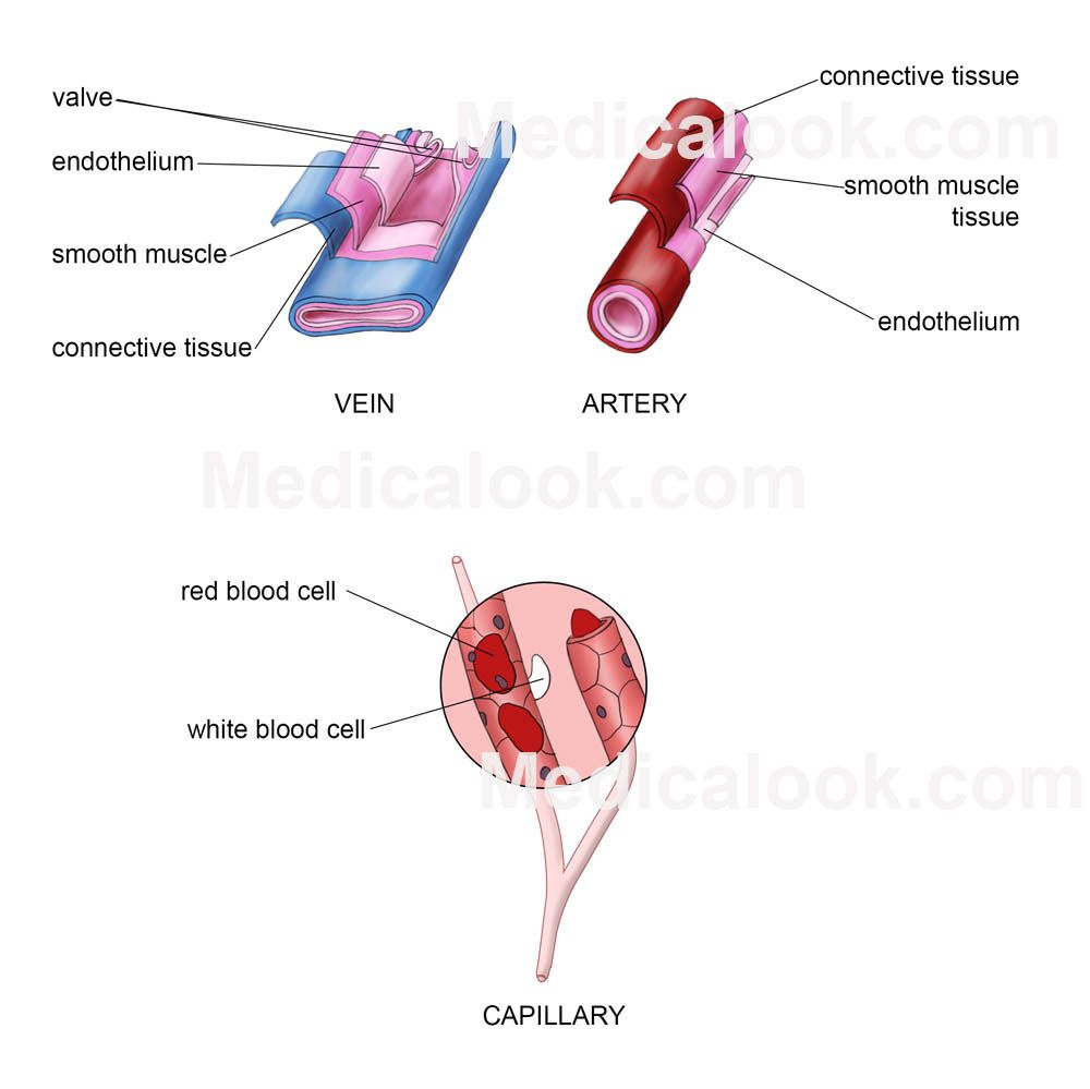 Blood vessels anatomy | Blood Vessels in the Human Body | Pinterest ...