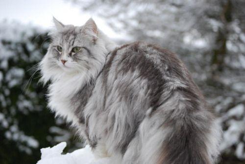 Nyotalia Norway Norwegian Forest Cat Forest Cat Norwegian Cat