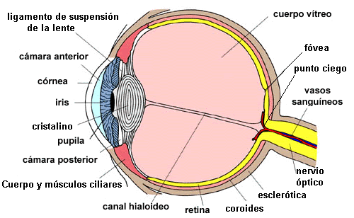 Ojo Humano Y Sus Partes Internas Figuras Busqueda De Google Medical Anatomy Medical Supplies Optometry