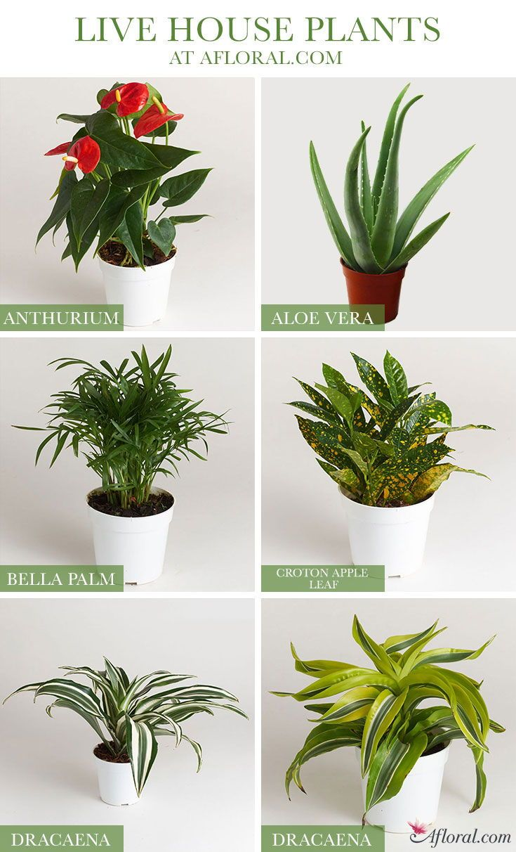 Find Live Indoor House Plants at Afloral.com | Flower Shop ...