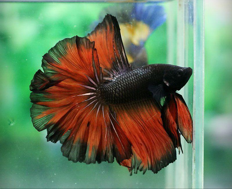 Black and red rosetail fancy bettas pinterest betta for Red betta fish