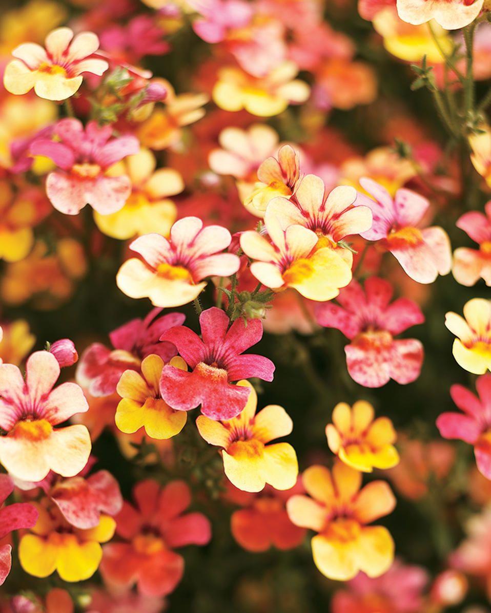 Nemesia Hybrid Juicy Fruits Kumquat Fruit Plants Orange Plant Juicy Fruit