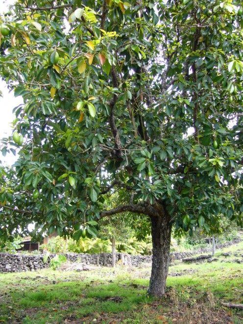 how to start an avocado tree